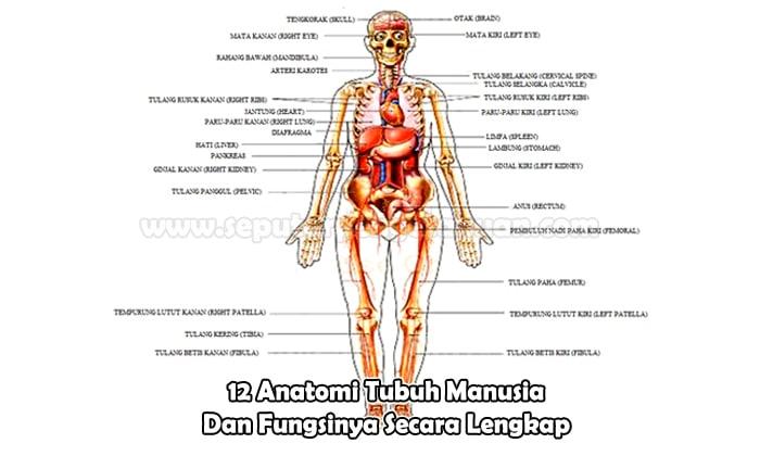 13 Anatomi Tubuh Manusia Dan Fungsinya Lengkap