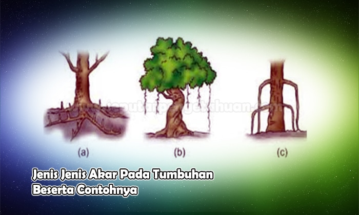Jenis Jenis Akar Pada Tumbuhan Dan Contohnya Bahas Lengkap
