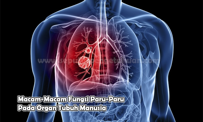 Macam Macam Fungsi Paru Paru Pada Organ Tubuh Manusia