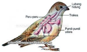 Sistem Pernapasan Pada Burung