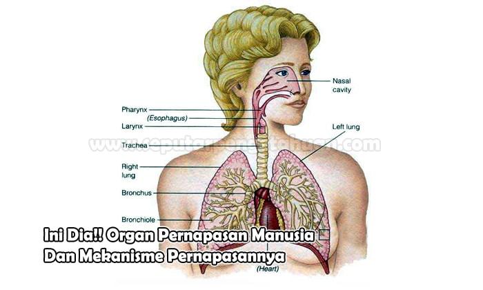 Organ Pernapasan Manusia Dan Mekanisme Pernapasannya Lengkap