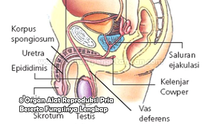 8 Organ Alat Reproduksi Pria Dan Fungsinya Lengkap