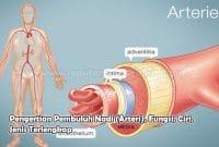 Pengertian Pembuluh Nadi (Arteri), Fungsi, Ciri, Jenis