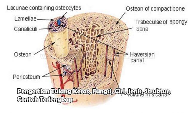 Pengertian Tulang Keras, Fungsi, Ciri, Jenis, Struktur, Contoh