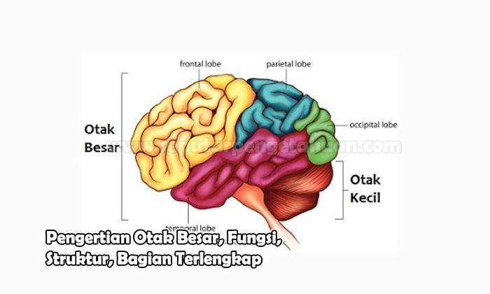 Pengertian Otak Besar, Fungsi, Struktur, Bagian
