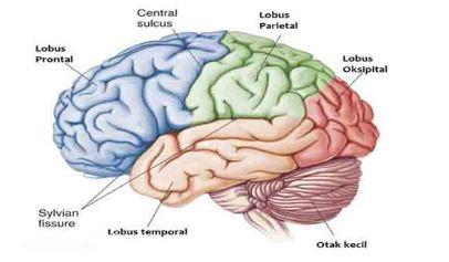 Struktur Dan Bagian Otak Besar