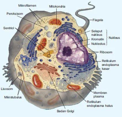 gambar sel hewan dan bagian-bagiannya