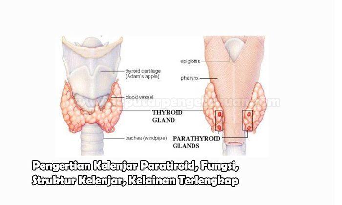 Pengertian Kelenjar Paratiroid, Fungsi, Struktur Kelenjar, Kelainan
