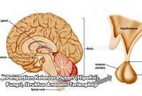 Pengertian Kelenjar Piutari (Hipofisi), Fungsi, Struktur Anatomi
