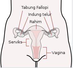 Struktur Anatomi Dan Bagian Ovarium