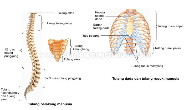 Tulang Rusuk : Pengertian, Jumlah, Struktur dan Fungsinya