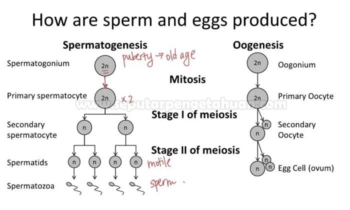 Perbedaan Spermatogenesis dan Oogenesis