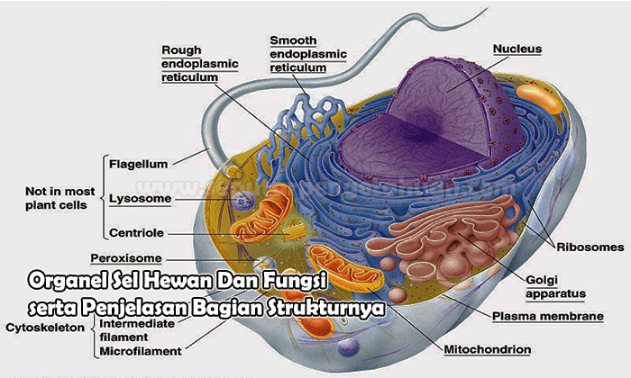 Organel Sel Hewan Dan Fungsi Serta Penjelasan Bagian S