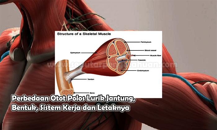 Perbedaan Otot Polos Lurik Jantung Bentuk Sistem Ker