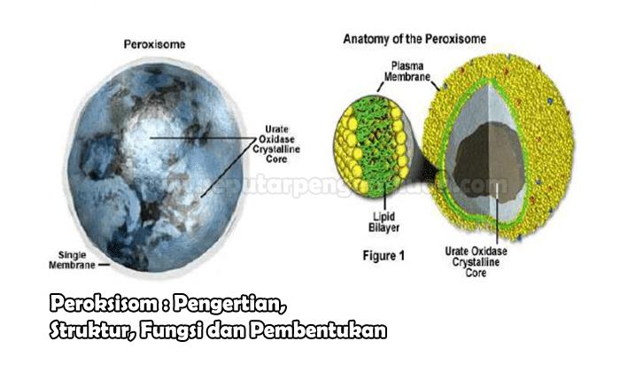 Peroksisom Pengertian Struktur Fungsi Dan Pembentukan