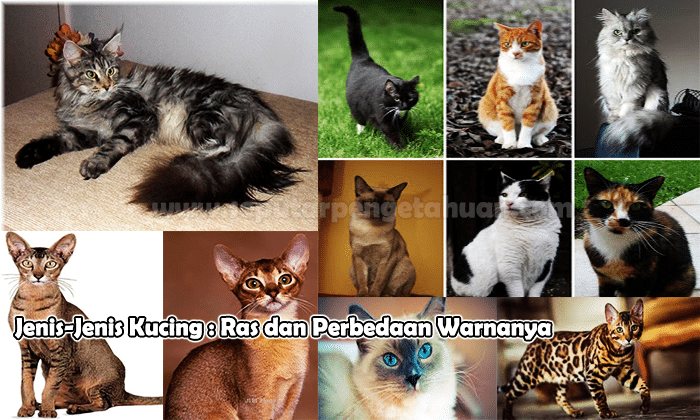 Jenis Jenis Kucing Ras Dan Perbedaan Warnanya